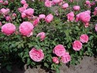struikrozen, bodembedekkende rozen