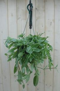 hang kamerplanten