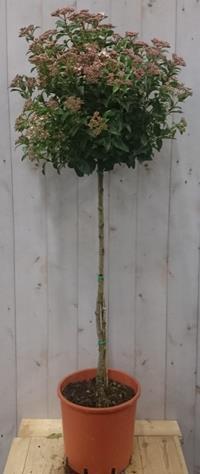 boompjes op stam