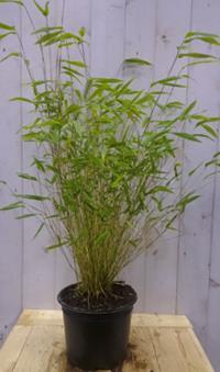 bamboe klimplanten, bamboe haagplanten