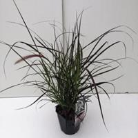 "Lampenpoetsersgras (Pennisetum setaceum ""Rubrum"") siergras - In 2 liter pot - 1 stuks"