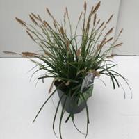 """Japanse zegge (Carex """"Evergreen"""") siergras - In 2 liter pot - 1 stuks"""