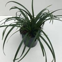 "Zegge (Carex ""Irish Green"") siergras - In 2 liter pot - 1 stuks"