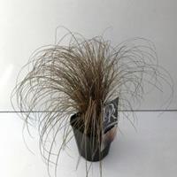 """Zegge (Carex comans """"Bronze Form"""") siergras"""