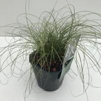 "Zegge (Carex comans ""Frosted Curls"") siergras - In 2 liter pot - 1 stuks"