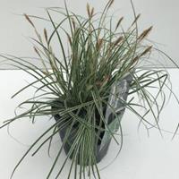 """Zegge (Carex oshimensis """"Everest"""") siergras - In 2 liter pot - 1 stuks"""
