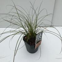"Zegge (Carex testacea ""Prairie Fire"") siergras - In 2 liter pot - 1 stuks"