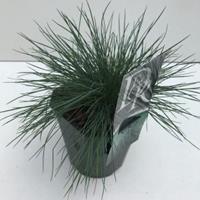 "Zwenkgras (Festuca glauca ""Elijah Blue"") siergras - In 2 liter pot - 1 stuks"