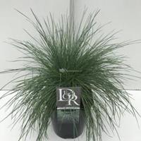 "Zwenkgras (Festuca glauca ""Elijah Blue"") siergras - In 5 liter pot - 1 stuks"