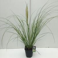 "Dwergpampasgras (Cortaderia selloana ""Mini Pampas"") siergras - In 5 liter pot - 1 stuks"