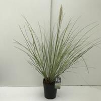 "Dwergpampasgras (Cortaderia selloana ""Mini Silverpampas"") siergras - In 5 liter pot - 1 stuks"