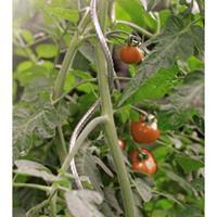 Nature Tomatensteun Verzinkt 180 cm