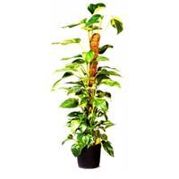 Nature Kokos Plantenstok Ø 38 mm 60 cm