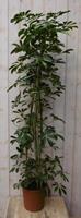 Warentuin Kamerplant Schefflera Vingersboom bont 120 cm