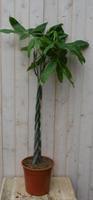 Warentuin Geldboom op gevlochten stam 130 cm