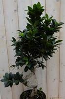 Warentuin Kamerplant Bonsai Ficus Microcarpa 70 cm