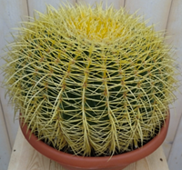 Warentuin Kamerplant Cactus schoonmoedersstoel groot 20cm dia.
