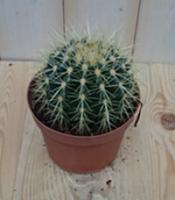 Warentuin Kamerplant Cactus schoonmoedersstoel klein