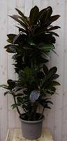 Warentuin Kamerplant Croton 120 cm
