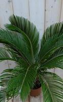 Warentuin Kamerplant Palmvaren Vredespalm Cycas 70 cm