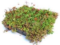 Sempergreen Sedumtray Type TE
