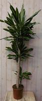Warentuin Kamerplant Drakenbloedboom Dracaena Massangeana Geel-Groen 160 cm