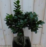 Warentuin Kamerplant Bonsai Ficus Microcarpa 50 cm