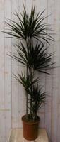 Warentuin Kamerplant Drakenbloedboom Dracaena Marginata smal blad Groen 160 cm