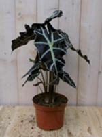 Kamerplant Olifantsoor polly 50 cm