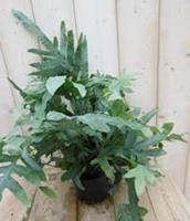 Warentuin Kamerplant IJzervaren Phlebodium