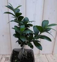 Warentuin Kamerplant Bonsai Ficus Microcarpa 30 cm