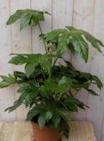 Warentuin Kamerplant Vingerplant 60 cm