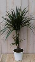 Warentuin Kamerplant Drakenbloedboom Dracaena Marginata smal blad Groen 60 cm