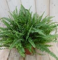 Warentuin Kamerplant Koningsvaren Nephrolepis 20 cm