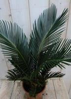 Warentuin Kamerplant Palmvaren Vredespalm Cycas 50 cm