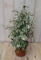 Warentuin Kamerplant Ficus Bont 60 cm