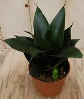Warentuin Kamerplant Vrouwentong Sansevieria donkergroen mini