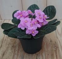 Warentuin 2 stuks! Kamerplant Kaaps viool roze