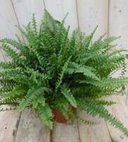 Warentuin Kamerplant Koningsvaren Nephrolepis 40 cm