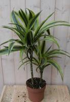 Warentuin Kamerplant Drakenbloedboom Dracaena Geel-Groen 60 cm
