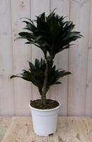 Warentuin Kamerplant Drakenbloedboom Dracaena Compacta 60 cm