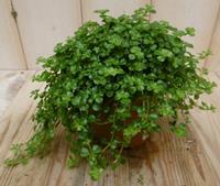 Edencollection 2 stuks! Kamerplant Pitoresque Pilea Depressa