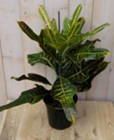 Warentuin Kamerplant Croton 60 cm
