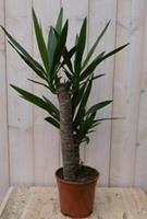 Warentuin Kamerplant Yucca 60 cm