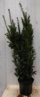 Warentuin Taxus 100 cm