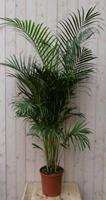 Warentuin Kamerplant Arecapalm 160 cm