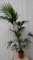 Warentuin Kamerplant Kentiapalm 160 cm
