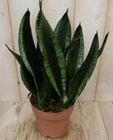 Warentuin Kamerplant Vrouwentong Sansevieria donkergroen 50 cm