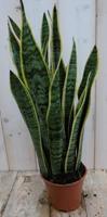 Warentuin Kamerplant Vrouwentong Sansevieria bont 50 cm