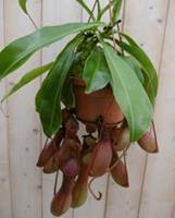 Warentuin Vleesetende plant Bekerplant Nepenthes